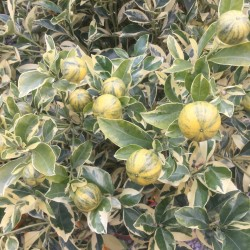 Citrus Orange 'Calamondin' (varigated)