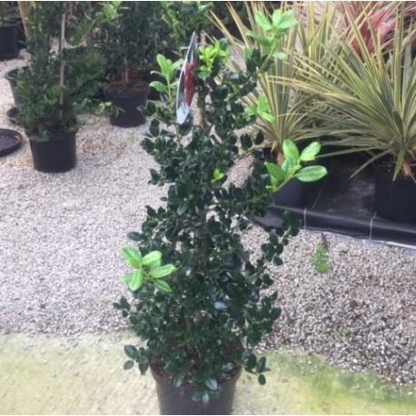 Ilex aquifolium 'J.C.Van Tool' 120cm