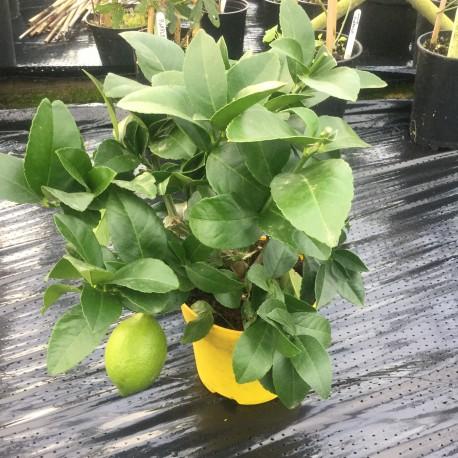 Citrus Lemon Meyer