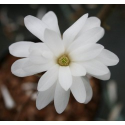 Magnolia Stellata 'Water Lilly' 130cm