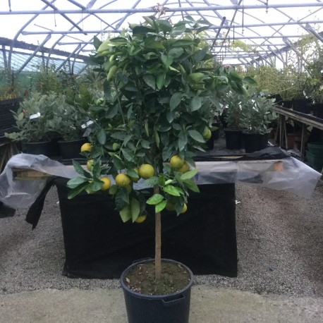 Citrus Orange sinensis 170cm standard