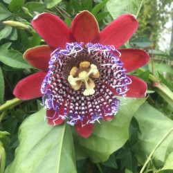Passiflora alata (AGM)