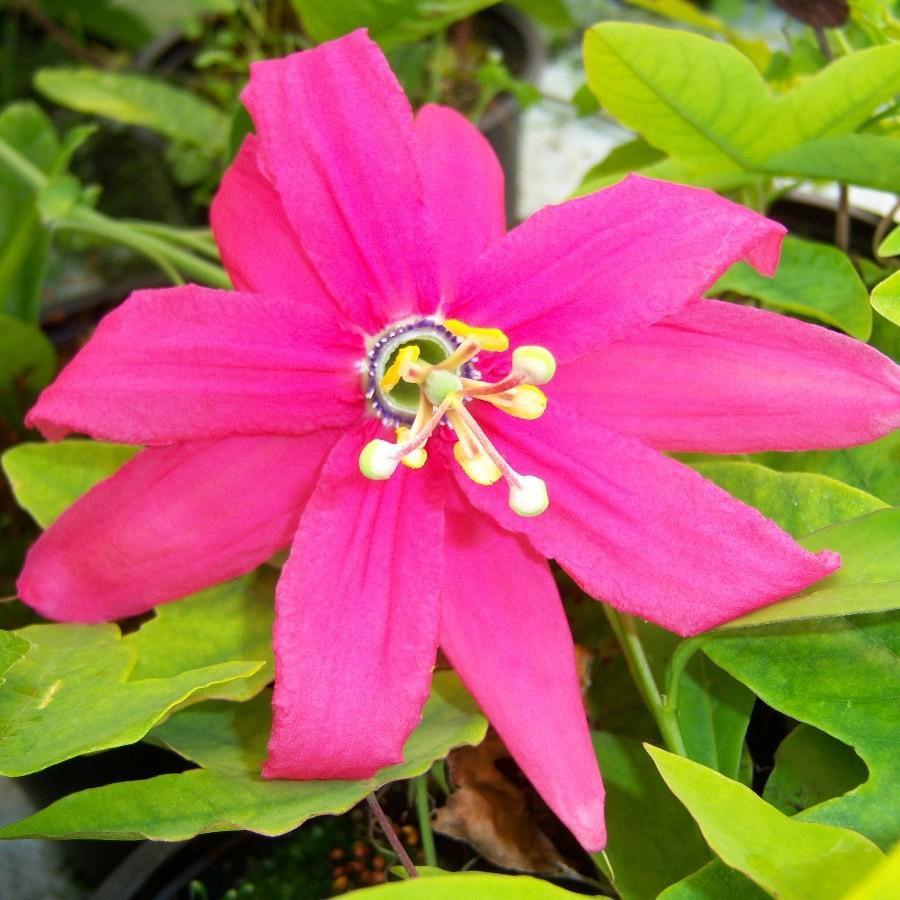 Passiflora exoniensis cross common nursery passiflora specialists mightylinksfo