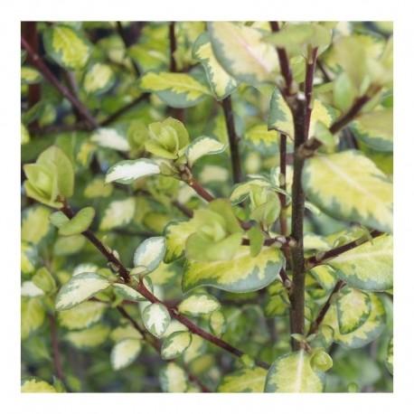 Pittosporum tenuifolium 'Tandara Gold'