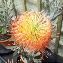 Leucospermum So Exquisite