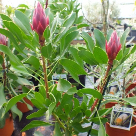 Protea Cynaroides 'Madiba'