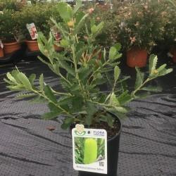Banksia Praemorsa yellow