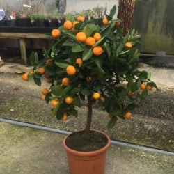 Citrus Orange 'Calamondin' 60cm standard