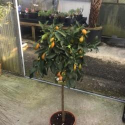 Citrus Kumquat Nagami 120cm