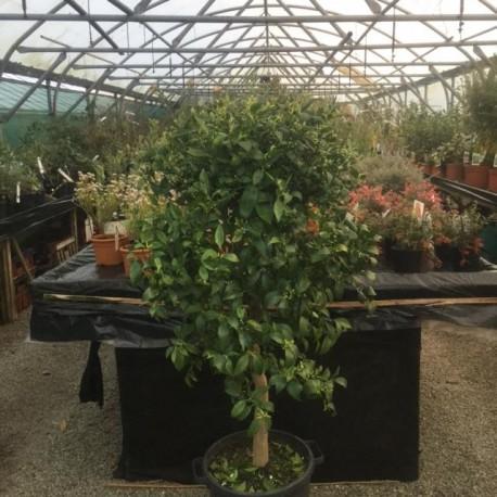 Citrus Mandarine Specimen