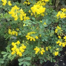 Coronilla valentina subsp.citrina