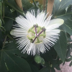 Passiflora Snow Queen