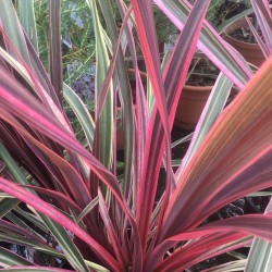 Cordyline Australis 3-4ft trunk
