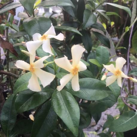 Trachelospermum asiaticum Majus