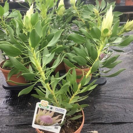 Protea cynaroides 'White Crown'