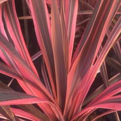 Cordyline australis Southern Splendour