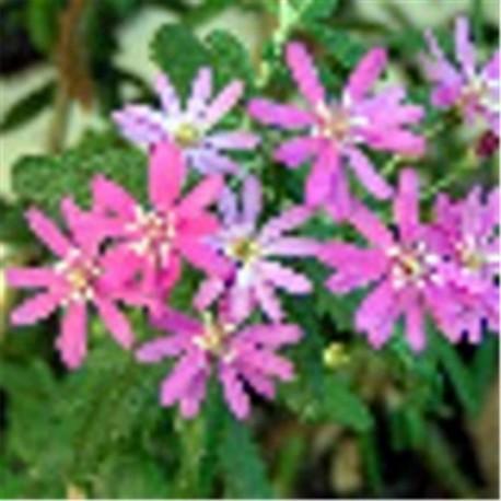 Olearia phlogopappa 'Coomber's Pink'