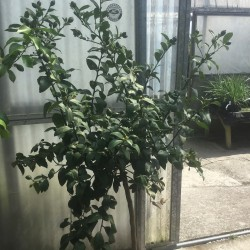 Citrus Lemon 'Meyer' Specimen