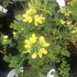 Coronilla valentina subsp.glauca Citrina