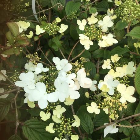 Viburnum plicatum f. tomentosum Summer Snowflake