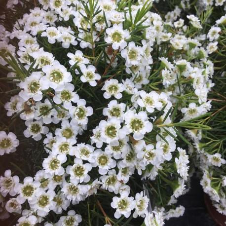Chamelaucium Chantilly Lace