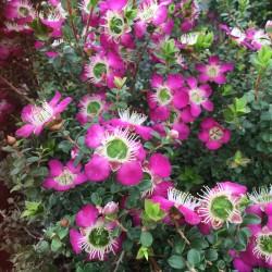 Leptospermum Purple Haze. Pbr