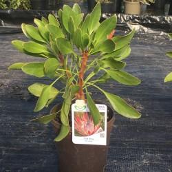Protea cynaroides 'Pink King'