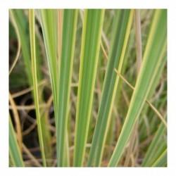 Cortaderia selloana 'Gold Band'