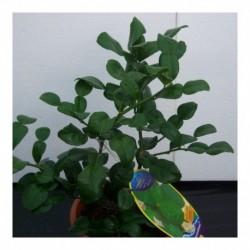 Citrus Kaffir Lime bush
