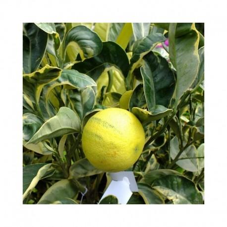 Citrus Orange Sinensis Variagated