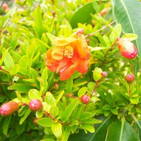 punica granatum nana dwarf pomegranate plants. Black Bedroom Furniture Sets. Home Design Ideas