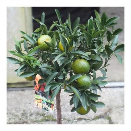 Citrus Mandarine 80cm standard