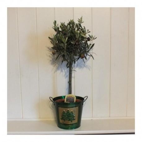 Olea europaea in Green Tin Planter.