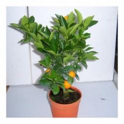 Citrus Orange 'Calamondin' starter plant