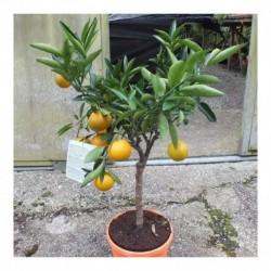 Citrus Clementine Standard