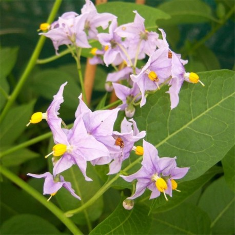 Solanum crispum Glasnevin
