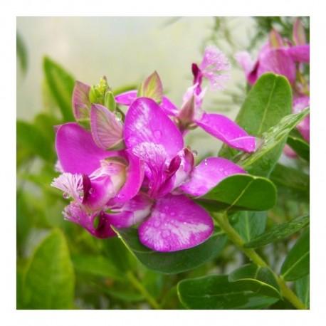 Polygala myrtifolia Grandiflora