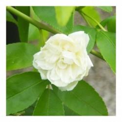 Rosa banksia banksia AGM