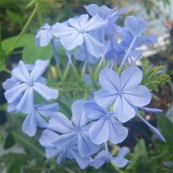 Plumbago ariculata Crystal Waters