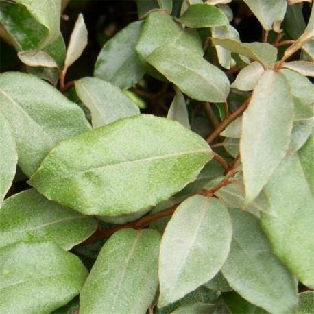 Elaeagnus ebbingei x 10