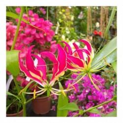 Gloriosa superba 'Flame Lily'
