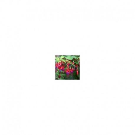 Fuchsia Genii