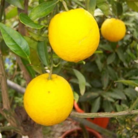 Citrus Orange 'Sanguinella' 130cm (Blood Orange)