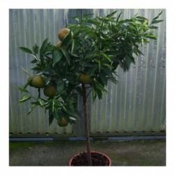 Citrus Clementine standard 130cm