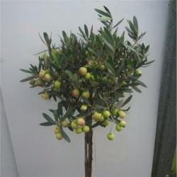 Olea Europaea Pair of 1/2 standard Olive trees