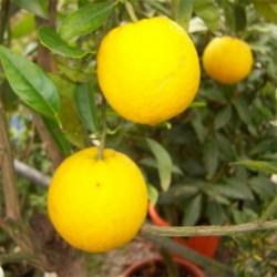 Citrus Orange sinensis standard 130cm