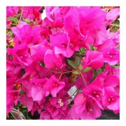 Bougainvillea pink/red