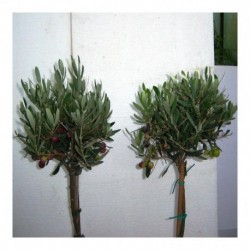 Olea Europaea pair of mini standards