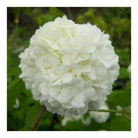 Viburnum opulus sterile syn roseum