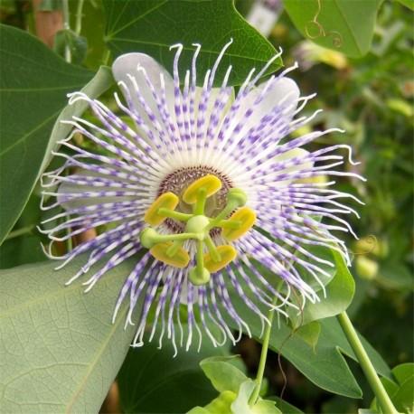 Passiflora Anemona
